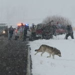 Watching the Wolves and Wildlife in Yellowstone Park