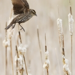 Mike Greener/Chronicle  female Red-winged Blackbird jumps to a better perch on a cattail early Tuesday morning at the Cherry River fishing access.
