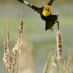 A male Yellow-headed Blackbird flies towards the sound of a potential mate in its habitat is cattail emergent marshlands at the Cherry River Fishing Access Tuesday morning.A male Yellow-headed Blackbird flies towards the sound of a potential mate in its habitat is cattail emergent marshlands at the Cherry River Fishing Access Tuesday morning.