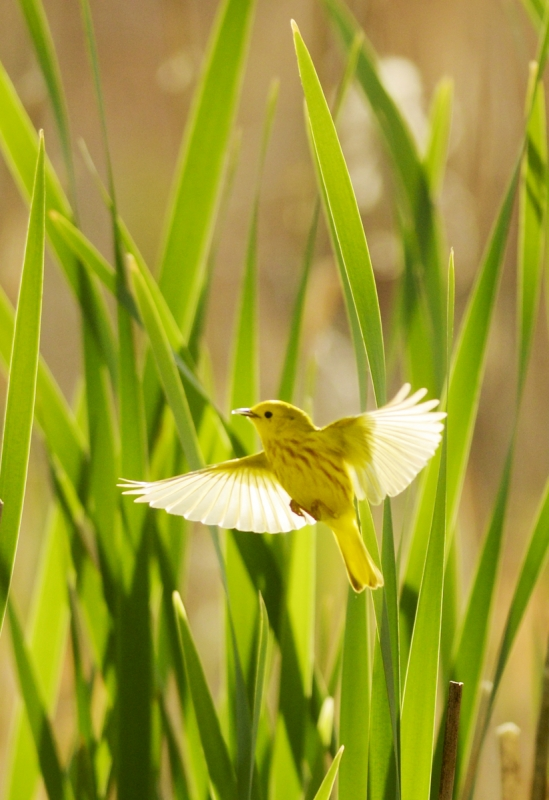 Mike Greener/Chronicle  A male Yellow Warbler flies through green cattails on the trail near the Cherry River Fishing Access Tuesday morning.