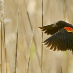 Mike Greener/Chronicle  Clutching a beak full of insects, a male Red-winged Blackbird checks its speed as it comes in for landing amongst the cattails at the Cherry River fishing access early Tuesday morning.