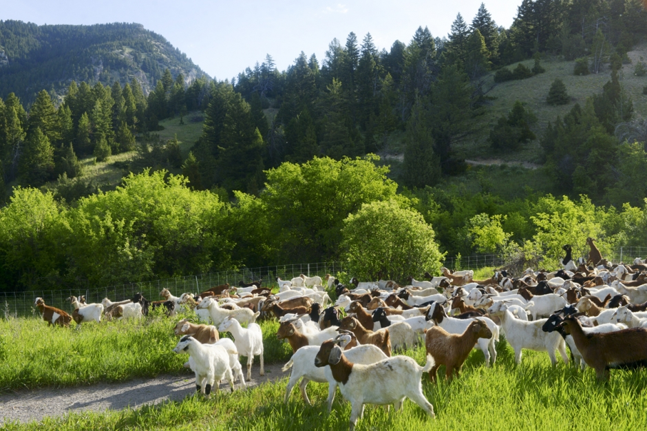 Mike Greener/Chronicle  A herd of over 400 Boer goats graze on grasses and invasive plant species along the Drinking Horse Mountain Trail Tuesday morning.