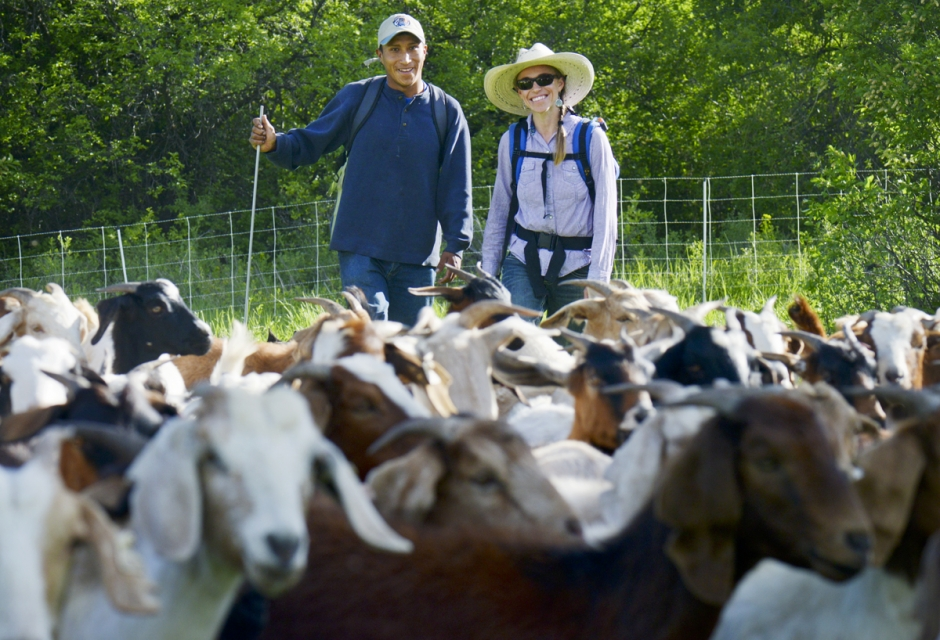 Goat herder Alex Gallardo Ricaldi and Lora Soderquist, regional manager of Perscriptive Livestock Service have been working to rid the Drinking Horse Mountain Trail of invasive plant species by using over 400 Boer goats graze them.