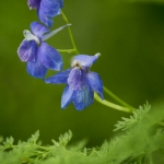 Mike Greener/Chronicle Low larkspur