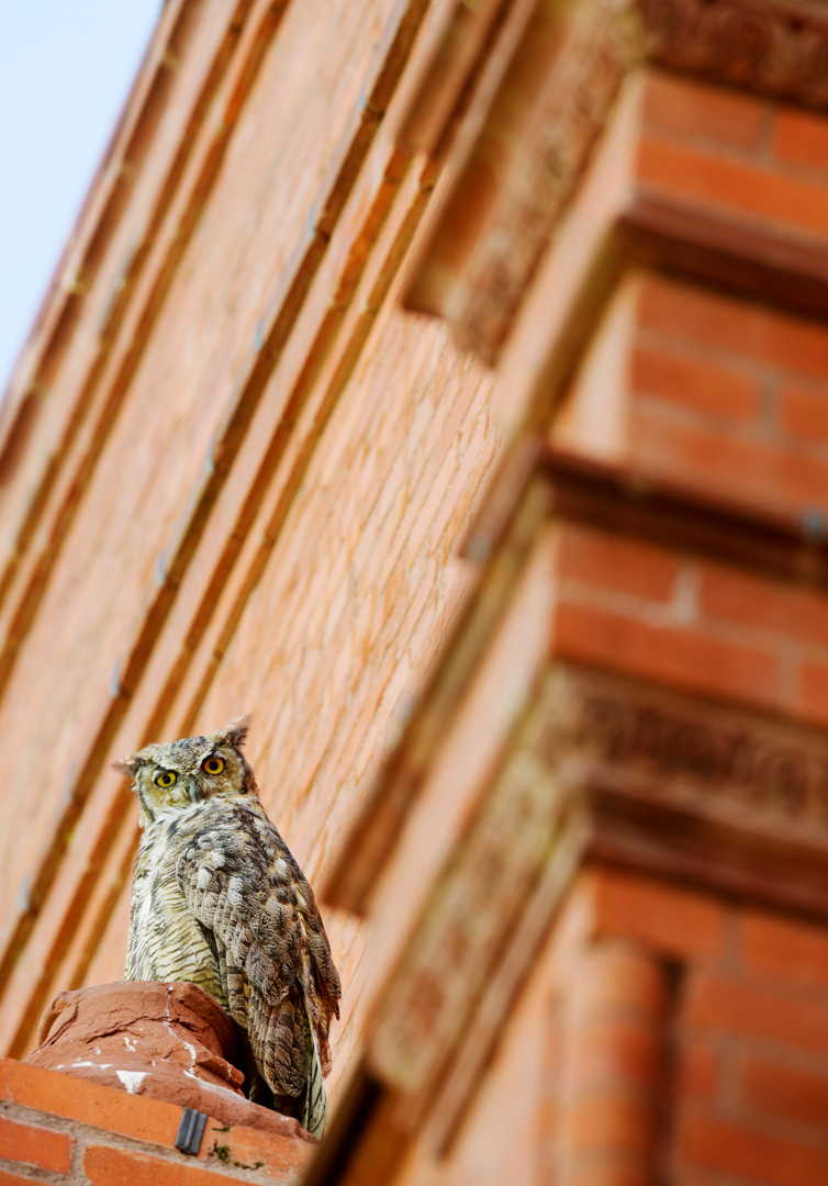 Mike Greener/Chronicle  A juvenile great-horned owl watches pedestrians below from its perch in a tree outside Montana Hall on Montana State University's campus Wednesday afternoon. The owl is one of four that have been seen frequently outside President Waded Cruzado's office and around campus for the past month.