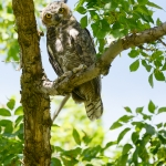 Great Horned Owls on Montana State University campus