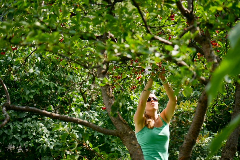 Mike Greener/Chronicle  With the help of a sturdy ladder, Rosa Brey helps her parents harvest tart pie cherries from her backyard neighbor Alan Hooker's overhanging tree branch Wednesday afternoon on South 3rd Avenue.