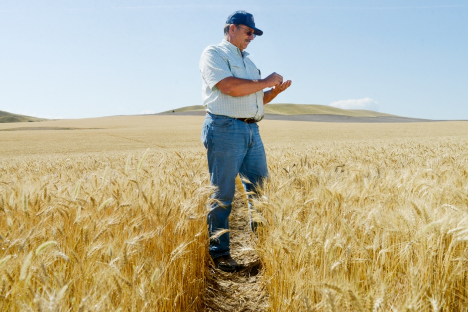 Mike Greener/Chronicle Manhattan wheat farmer Matt Flikkema inspects pre-harvest sprouting in his wheat field Tuesday afternoon. Late summer rains have caused concern amongst Montana farmers.