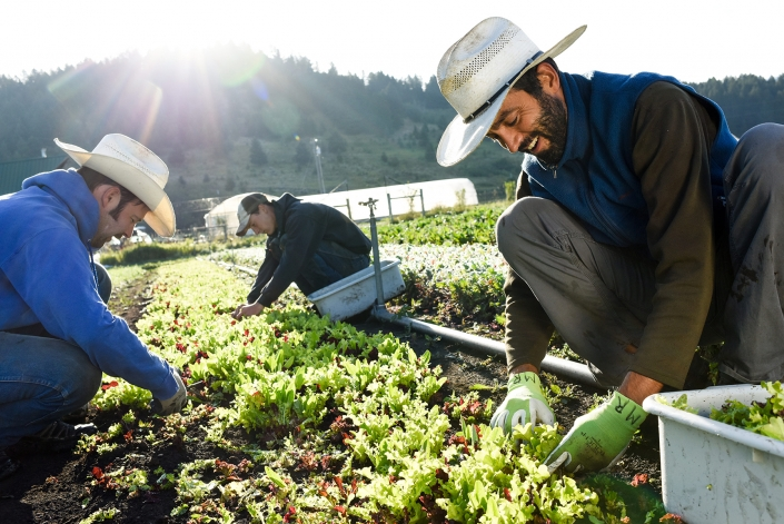 Bozeman Family Photography Gallatin Valley Botanical Farm Harvest Lettuce