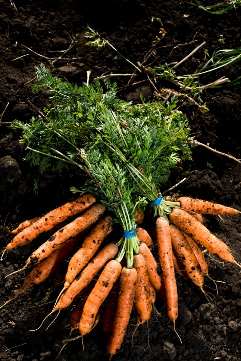 Bozeman Family Photography Gallatin Valley Botanical Farm Carrots