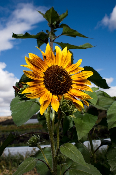 Bozeman Portrait Photography Gallatin Valley Botanical Farm Sunflowers