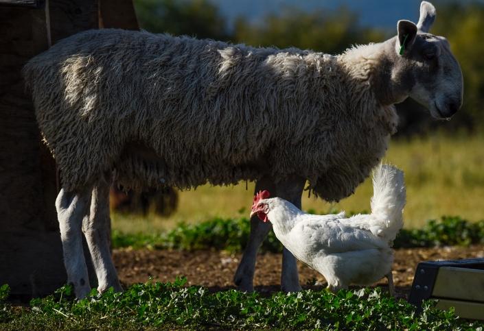 Bozeman Portrait Photography Gallatin Valley Botanical Farm Lamb Chicken