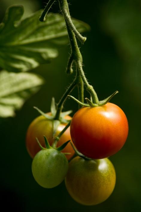 Flowers Bozeman Portrait Photography Gallatin Valley Botanical Farm Tomatoes